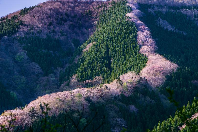 ナメゴ谷の桜(その1)   奈良観...